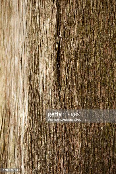Cedar tree trunk, close-up