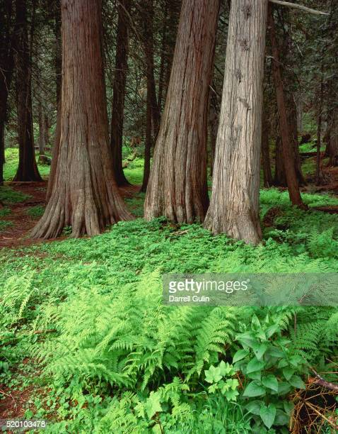 Cedars and Sword Ferns