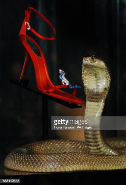 Cedric a highly aggressive and deadly Egyptian Cobra is mesmerised by a Rene Caovilla sandal one of a pair encrusted with rubies sapphires and...