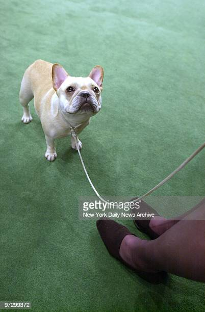 Celeste a French bulldog is a model of good breeding at the Westminster Kennel Club Dog Show in Madison Square Garden