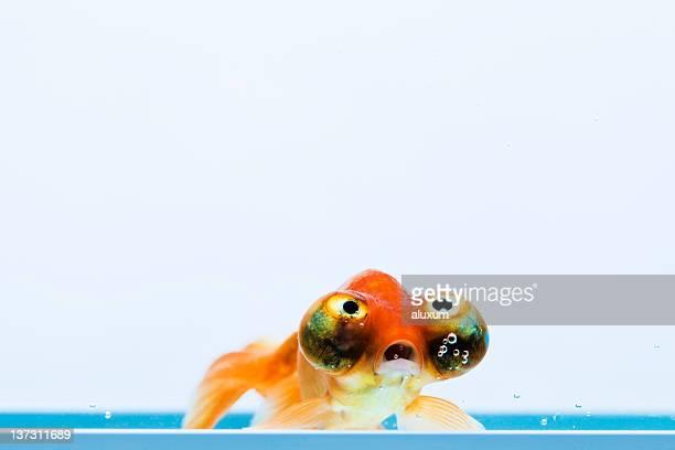 Celestial Eye Goldfisch