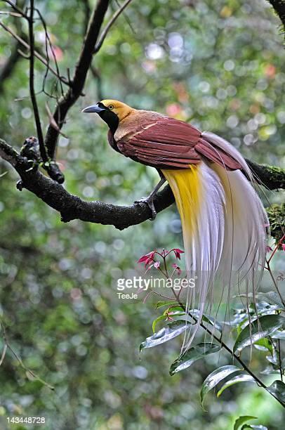 Cendrawasih-Raggiana bird of paradise