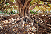 Big Ficus tree with roots