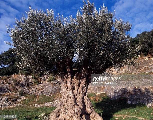 Centenary Olive Oleaceae Lessini Mountains Veneto Italy