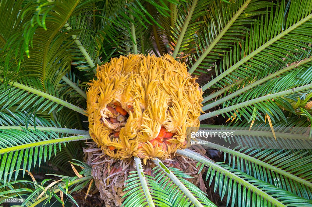center of the palm Cycas revoluta : Stock Photo