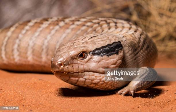 A Central Australian Blue Tongue Skink or Lizard makes its way along a desert landscape The Central Blue Tongue Skink is found in central Australia...