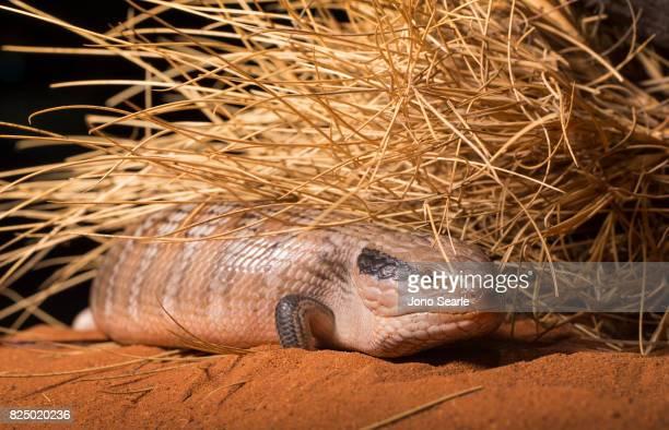 A Central Australian Blue Tongue Skink or Lizard makes its way along a desert landscape The Central Blue Tongue Skink is found in central Australia...