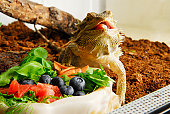 Central Bearded Dragon (Pogona vitticeps) eating fruits