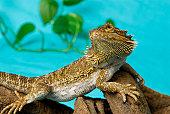 Central Bearded Dragon (Pogona vitticeps) on a branch