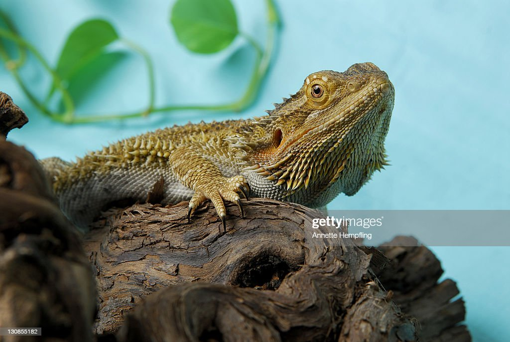 Central Bearded Dragon (Pogona vitticeps) on a branch : Stock Photo