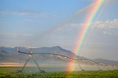 Central pivot irrigation mechanism distributes water in a field of blooming potatoes