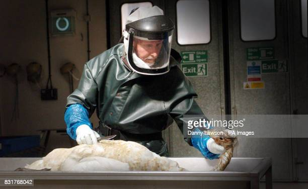 Centre manger Douglas Gray inspects a dead swan at SAC Veterinary Service in Aberdeen Saturday April 8 before sending samples off to sent to...