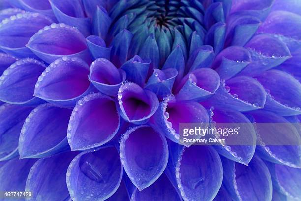 Centre of blue and purple dahlia flower