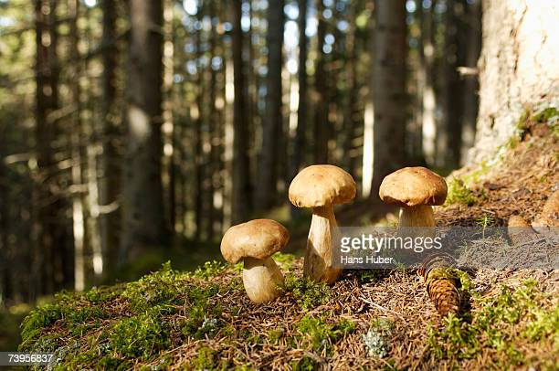 Ceps in forest, close-up