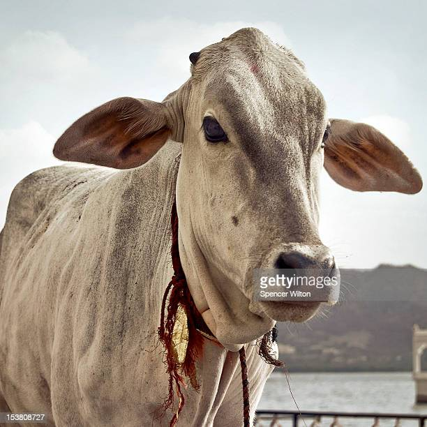 Ceremonial Cow