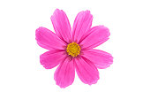 Cerise Pink Cosmos Flower.