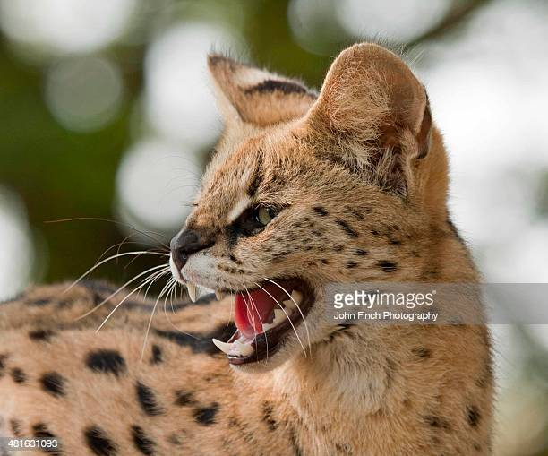 Cerval Cat
