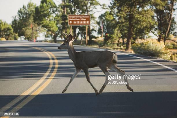 Cervo attraversa la strada al Grand Canyon