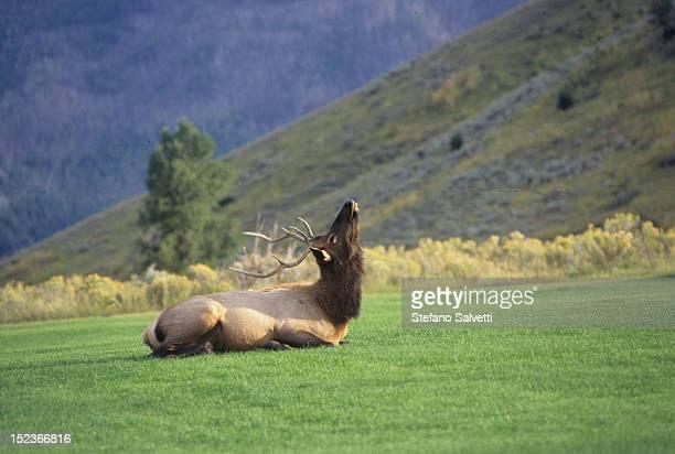 Cervo nello Yellowstone National Park