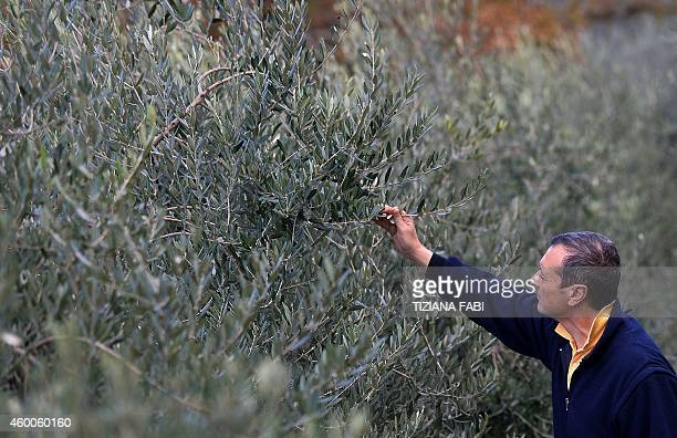 MACKINNON Cesare Buonamici checks olive trees of the Buonamici Farm nestles in the hills of Fiesole just outside Florence Tuscany on December 2 2014...