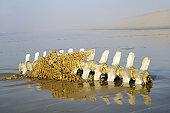 Beached pilot whale skeleton
