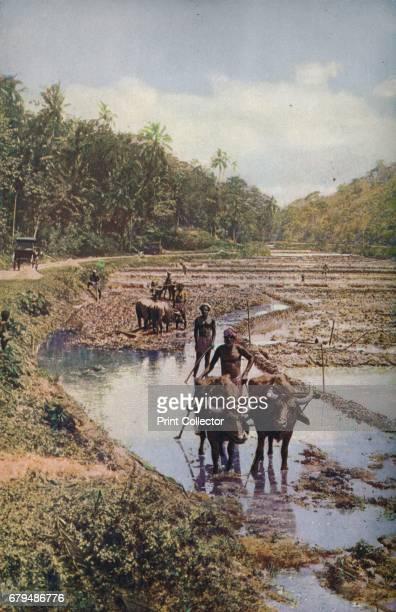 Ceylon Hock deep in liquid mud buffaloes draw the wooden ploughs through terraced paddyfields sodden with precious water' c1920 Ceylon was a British...