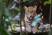 Ceylon leopard lying on a wooden log and looking straight ahead