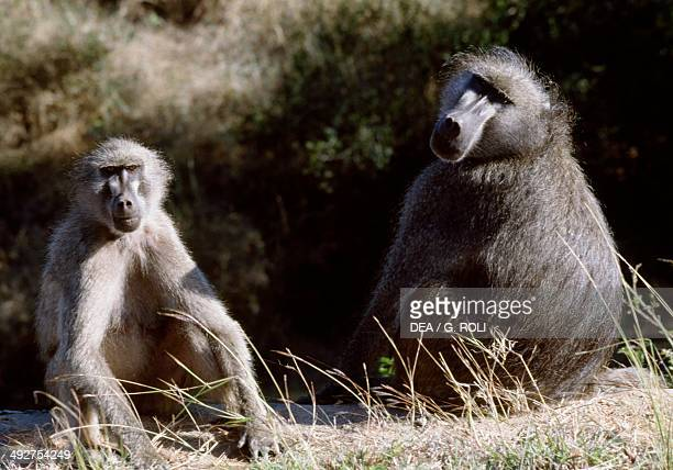 Chacma baboon or Cape baboon Cercopithecidae Kruger National Park South Africa