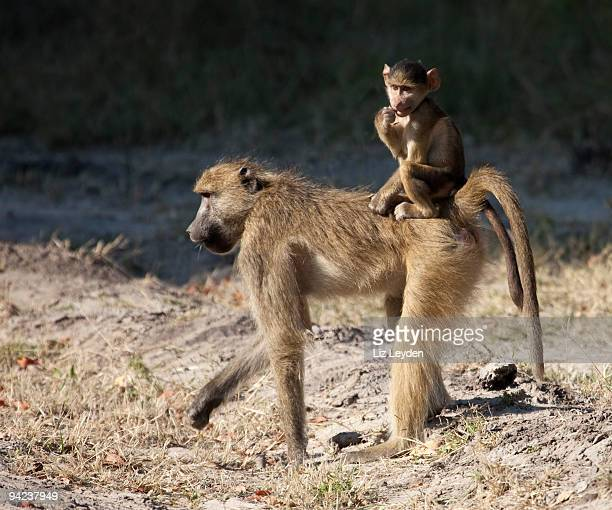 Chacma Baboon, Papio ursinus, mother and baby; Moremi, Botswana