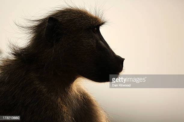 Chacma Baboon rests on a rock in Kruger National Park on July 8 2013 in Lower Sabie South Africa The Kruger National Park was established in 1898 and...