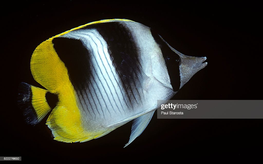 Chaetodon ulietensis (Pacific double-saddle butterflyfish)