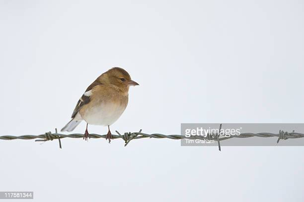 Chaffinch female perches on barbed wire by snowy hillside The Cotswolds UK