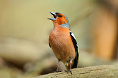 Chaffinch in the spring loudly sings, sitting on a fallen tree.