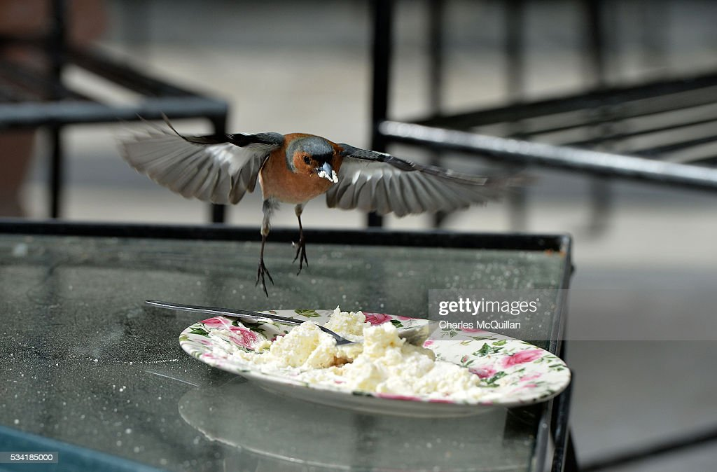 A chaffinch makes the most of some leftover high tea cream in the walled garden of Glenveagh Castle as Prince Charles, Prince of Wales and Camilla, Duchess of Cornwall visited Glenveagh Castle on May 25, 2016 in Letterkenny, Ireland. The royal couple are on a one day visit to Ireland having spent two days across the border in Northern Ireland. It is their first trip to Donegal.