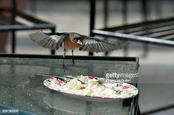 A chaffinch makes the most of some leftover high tea cream in the walled garden of Glenveagh Castle as Prince Charles Prince of Wales and Camilla...