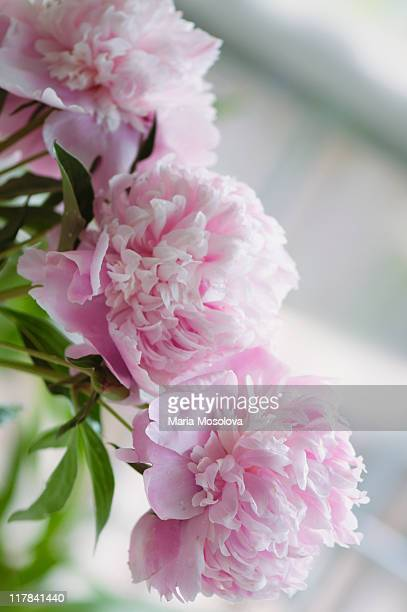 Chain of Three Pink Double Peony Flowers