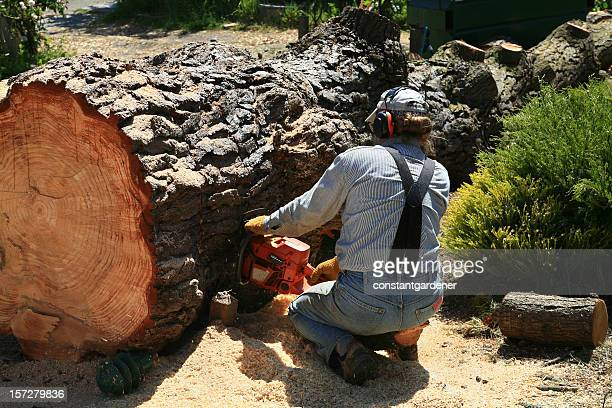 Chain Sawing Through A Giant Evergreen Tree