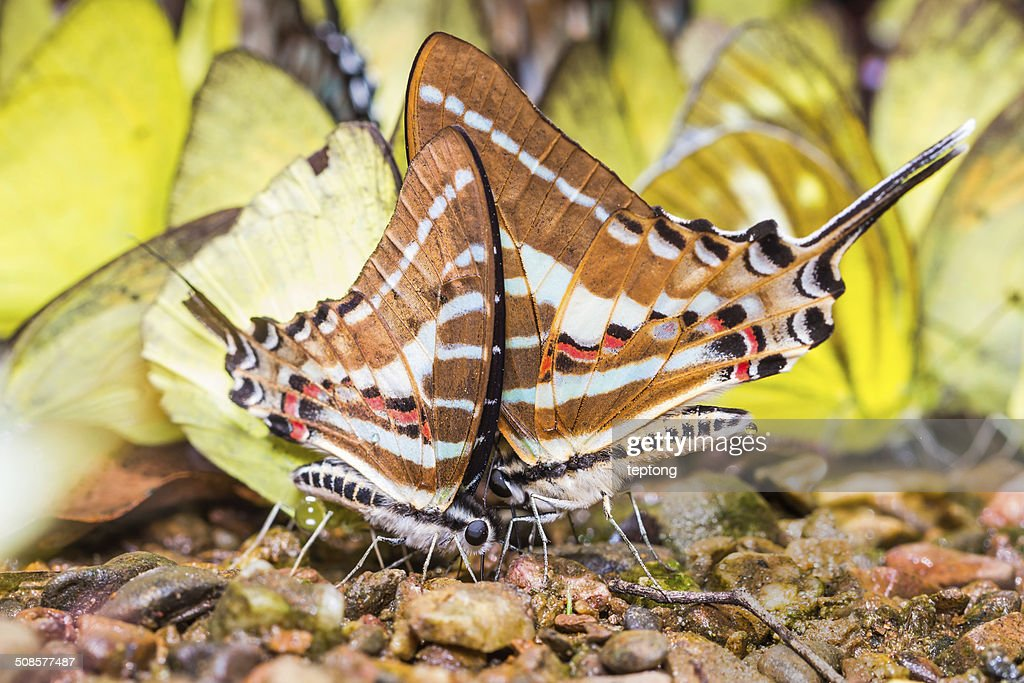 Kette swordtail butterfly : Stock-Foto