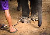 Chained elephant feet and his mahout's feet. Elephant and his keeper.
