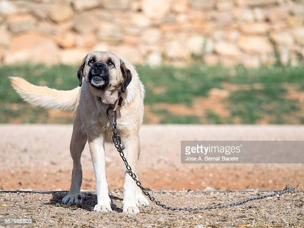 Chained guard dog, barking