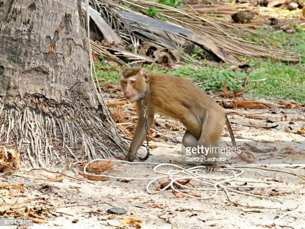 Chained Pigtailed Macaque in Thailand
