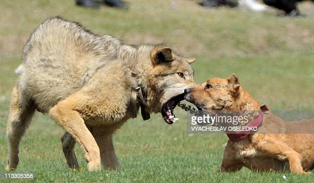 A chained wolf retaliates against a dog during a hunting festival 'Salburun' in the village of Tyup some 370km from Bishkek near IssykKul lake on May...