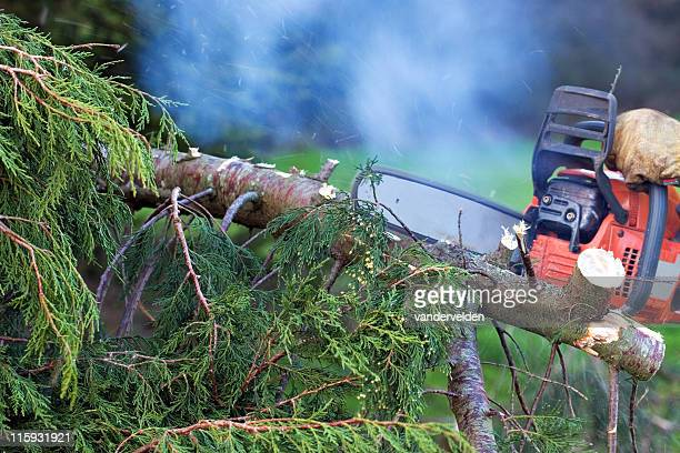 Chainsawing A Conifer