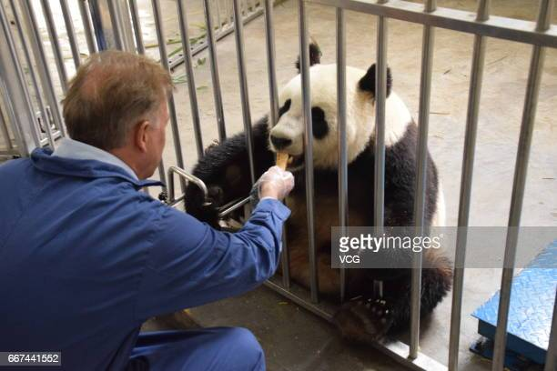 Chairman of Dutch Ouwehand Zoo feeds giant panda Xing Ya at Wolong National Nature Reserve before the panda leaves for Netherlands on April 11 2017...