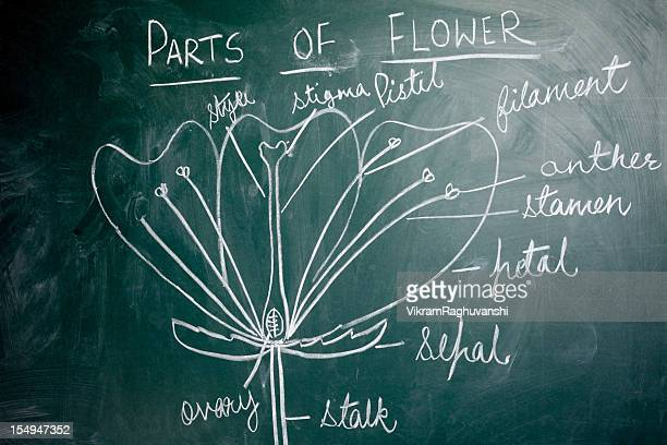 Chalk Hand Drawing on Greenboard Blackboard showing Parts of Flowers