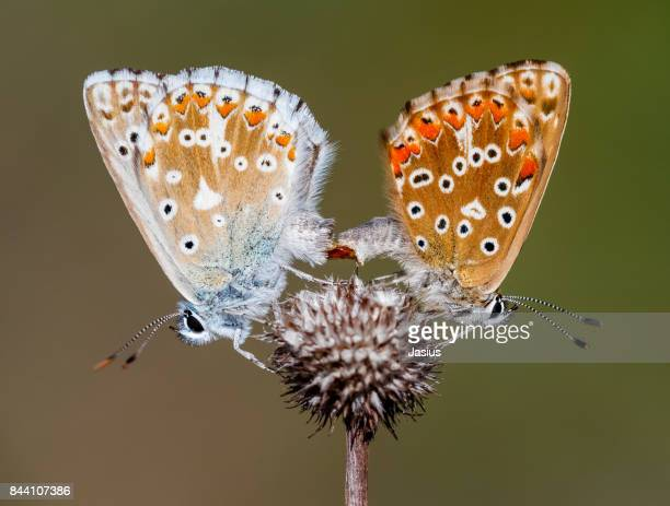 Chalk Hill Blue butterfly