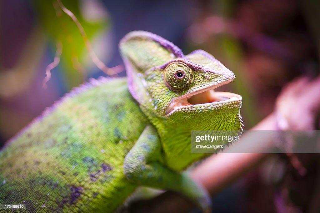 Chamaleon : Foto stock