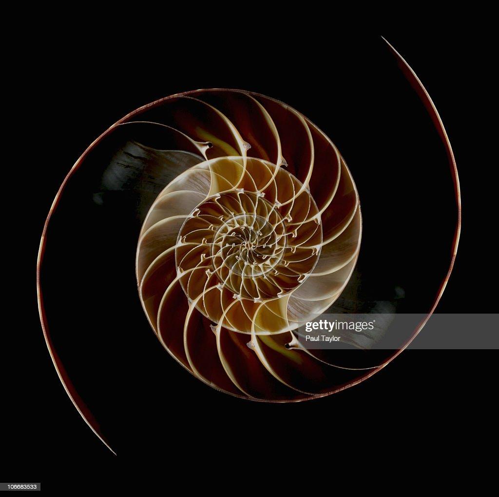 Chamber Nautilus Shells