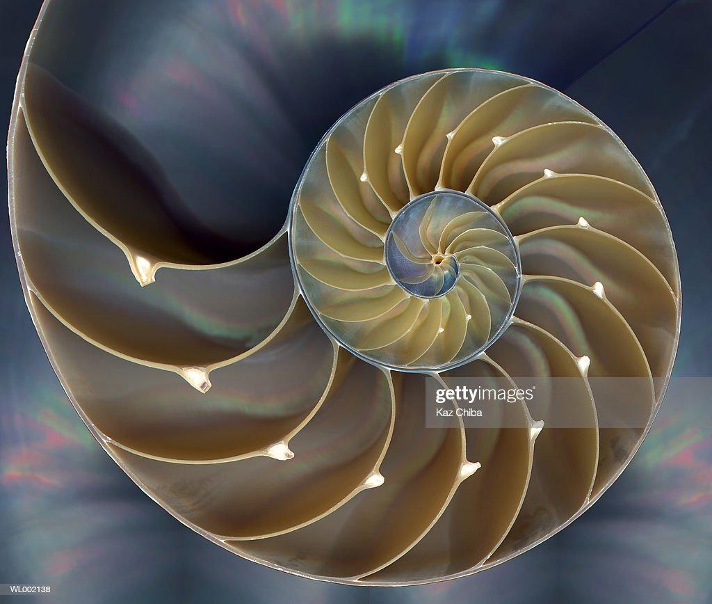 Chambered Nautilus (Nautilus sp.), cross section
