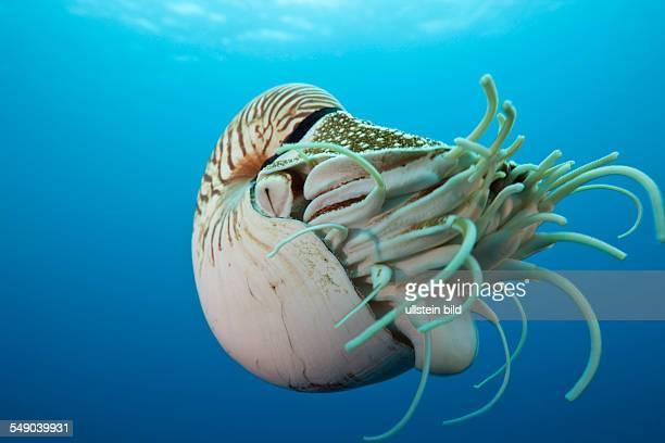 Chambered Nautilus Nautilus belauensis Micronesia Palau